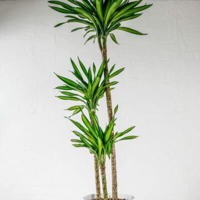 corn plant dracaena fragrans mass cane lemon lime