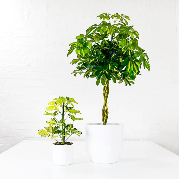 Umbrella Plants schefflera aboricola