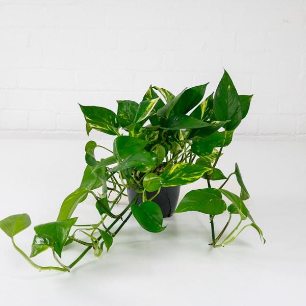 devils ivy epipremnum aureum climbing plant