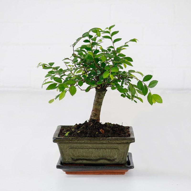 japanese elm bonsai