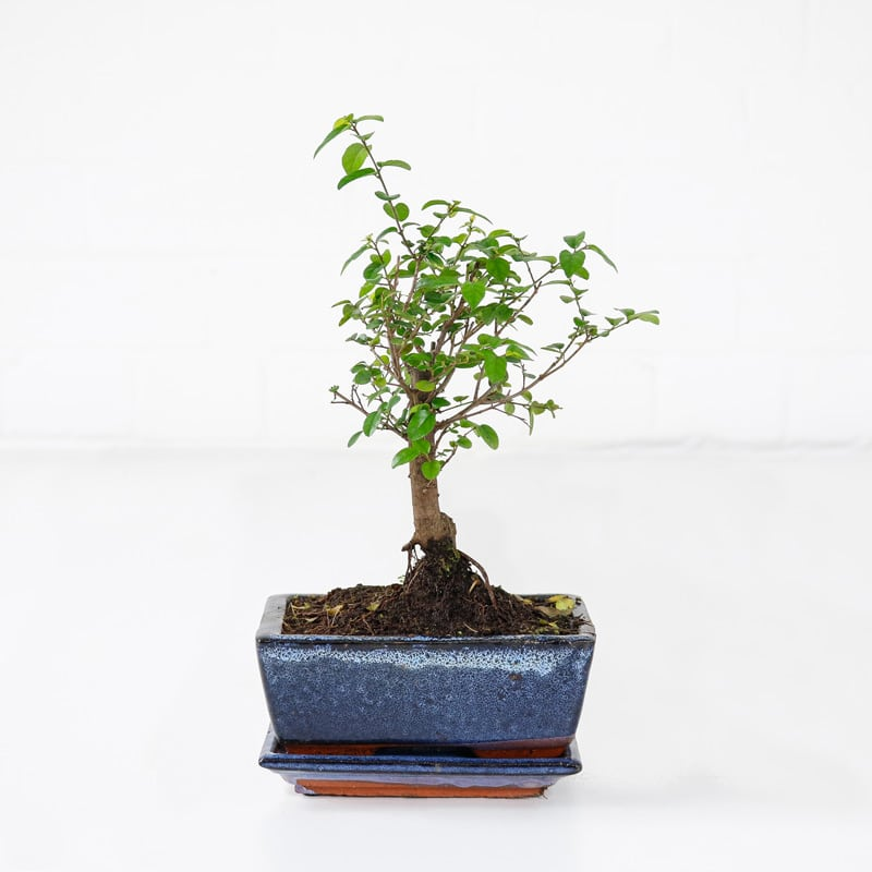 sweet plum bonsai