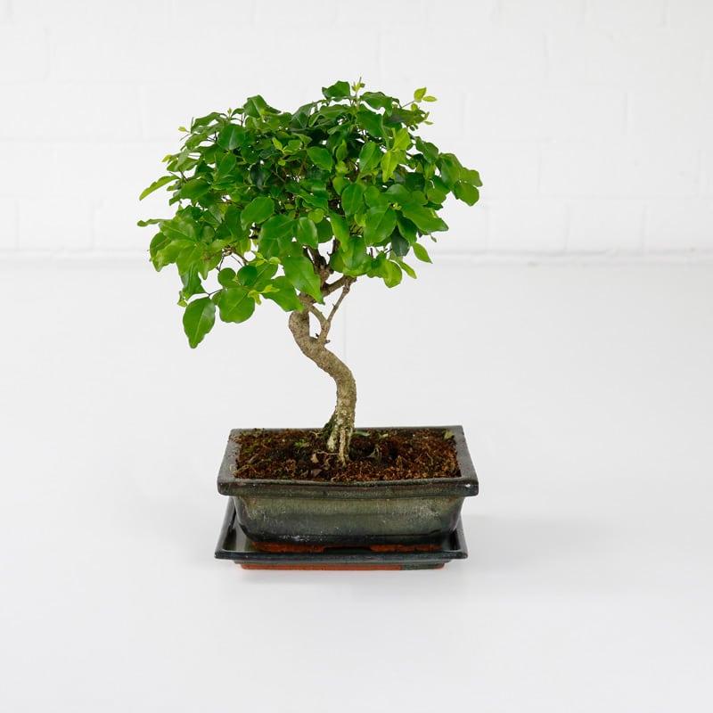 chinese privet bonsai