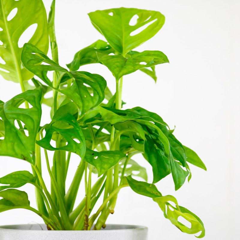 monkey mask plant