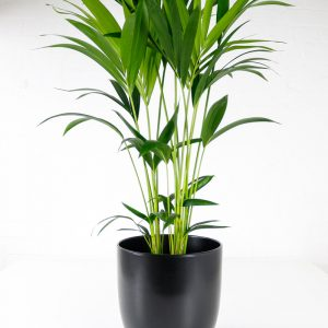 kentia palm howea fosteriana