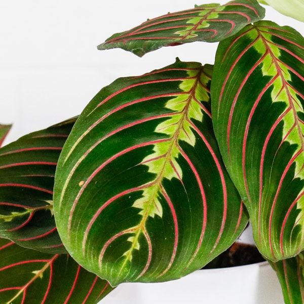 Prayer Plant Maranta buy online delivery