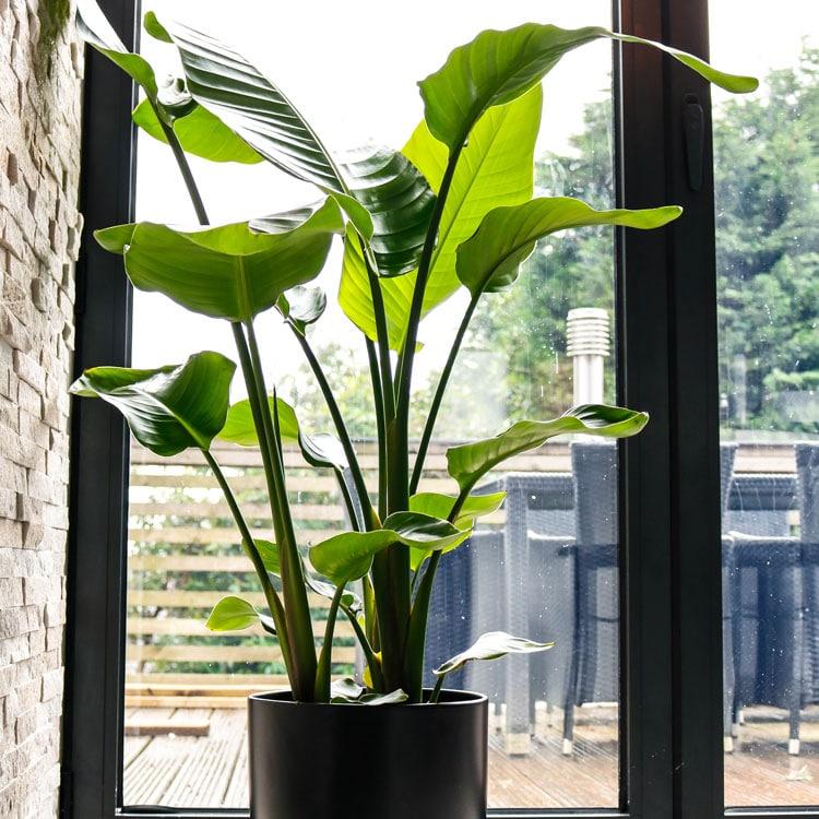 bird of paradise strelitzia nicolai best large house plant