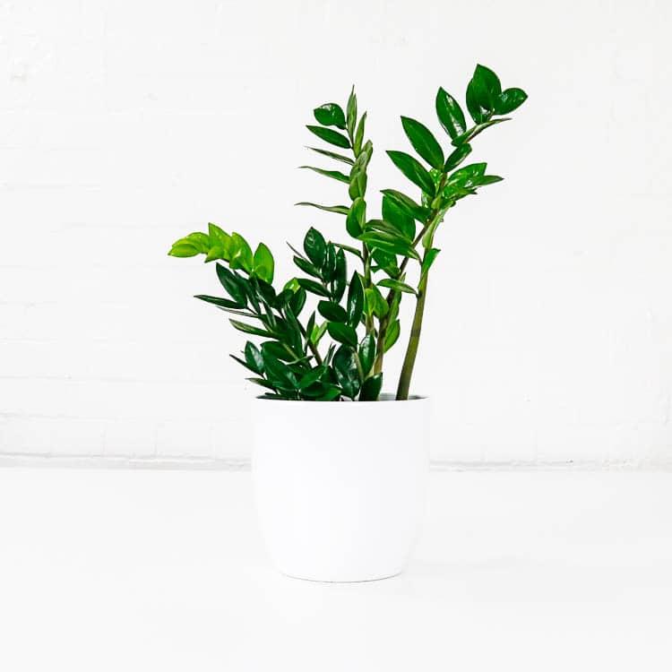 zz plant zanzibar gem zamioculcas