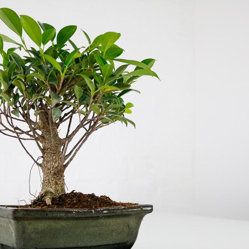 bonsai fig