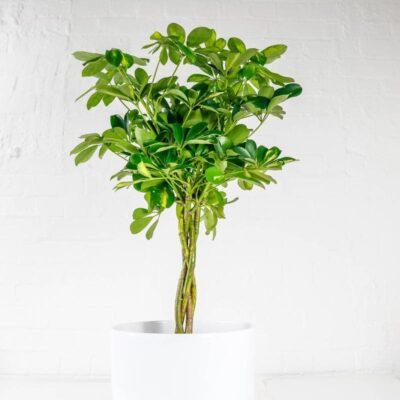 Umbrella Plant schefflera