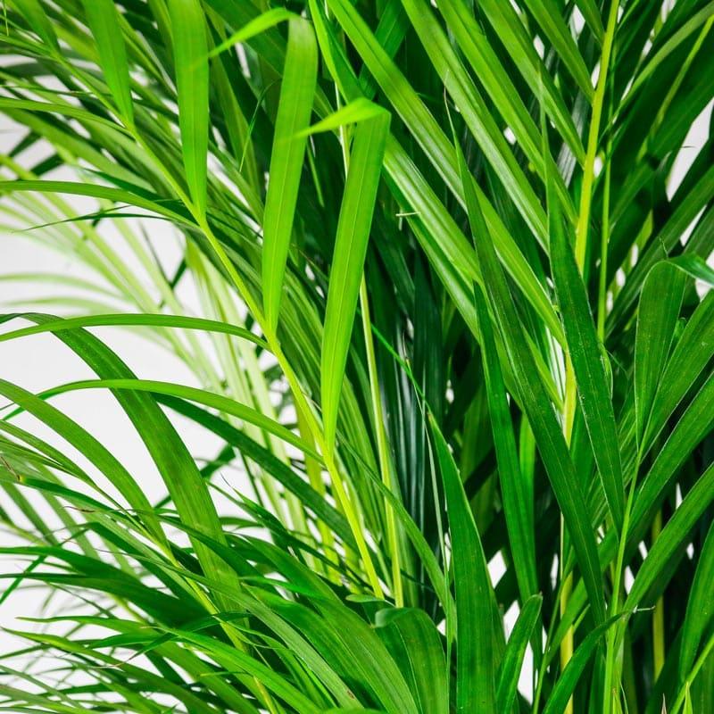 areca palm large
