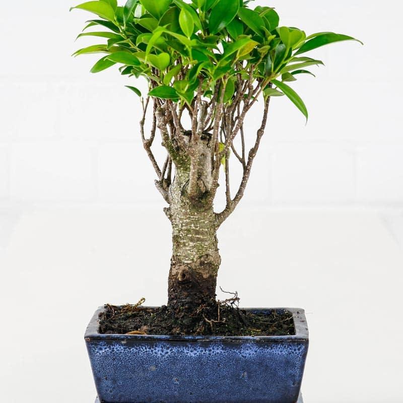 bonsai fig tree
