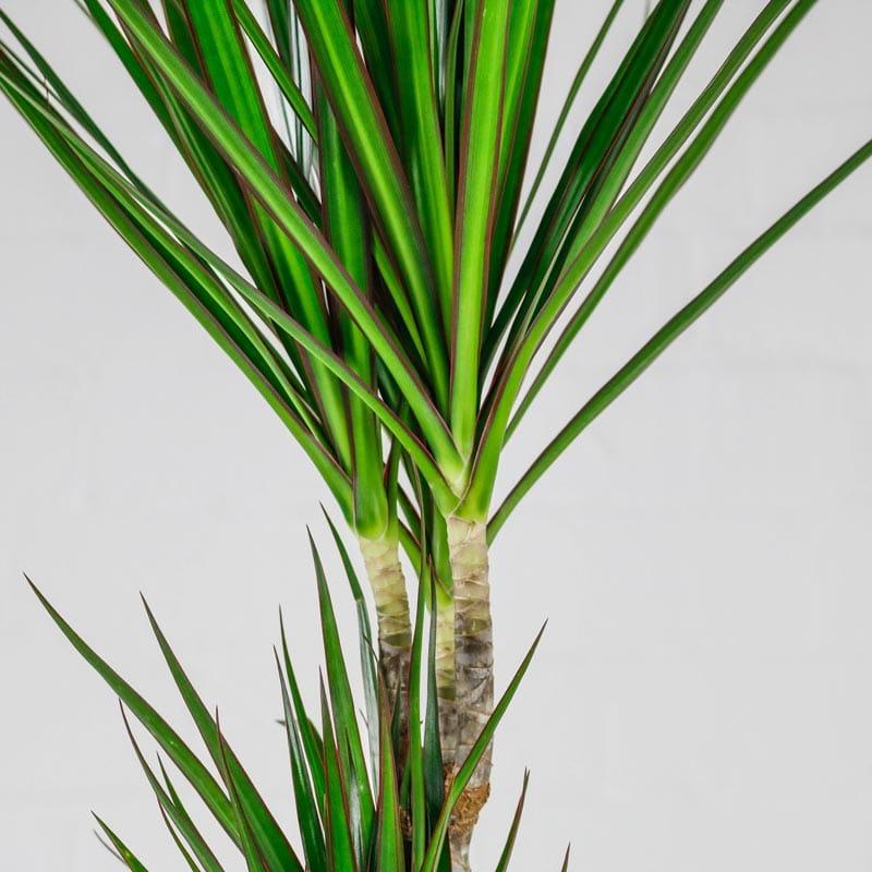 dragon tree plant dracaena marginata