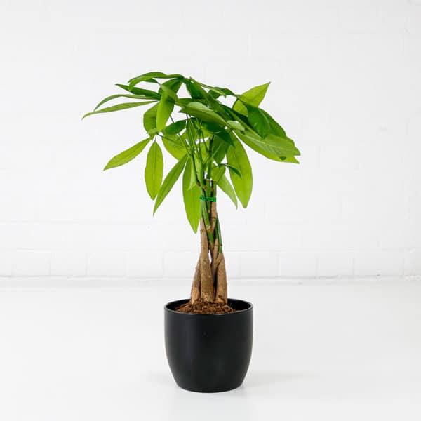 money tree small