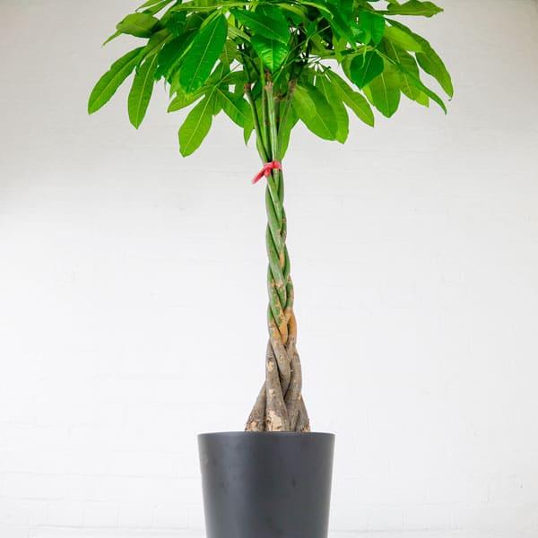 money tree pachira aquatica large
