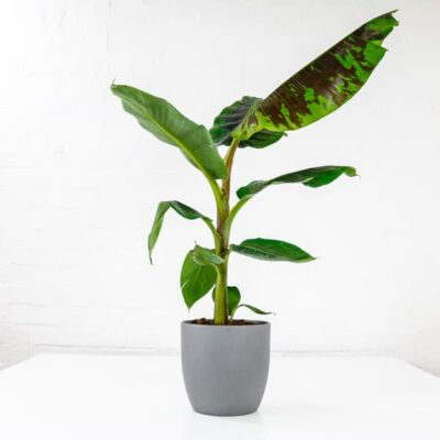 musa dwarf cavendish banana plant