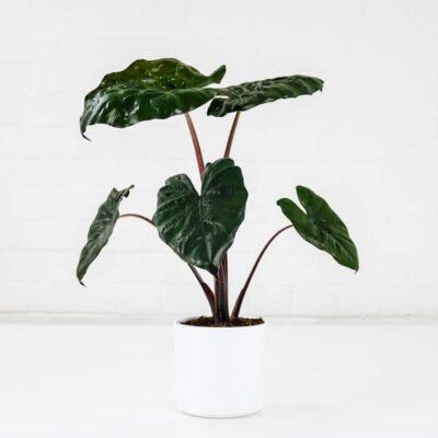 alocasia elephant's ear plant