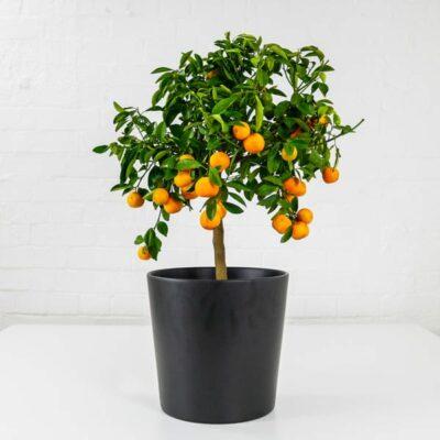 calamondin orange tree