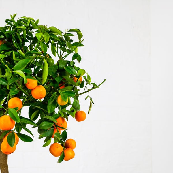 calamondin orange tree indoor fruit plant