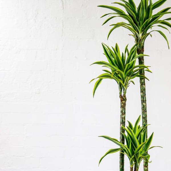 corn plant lemon lime dracaena fragrans mass cane