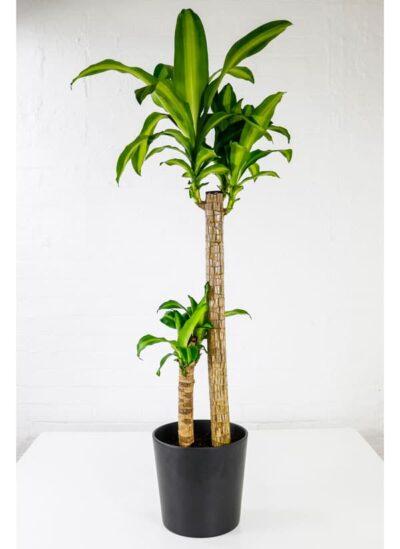 corn plant massangeana dracaena fragrans mass cane