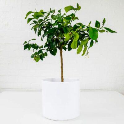lemon tree indoor fruit plant