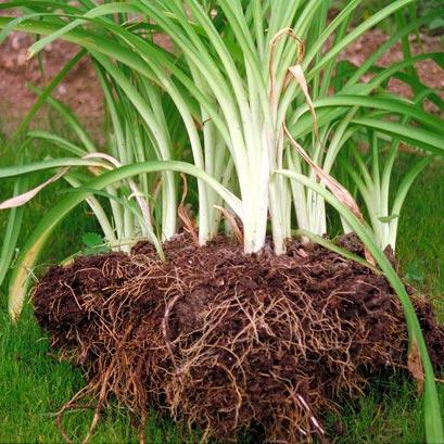 crown division plants