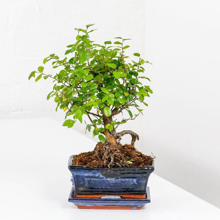 Sweet Plum Bonsai Tree Sageretia Theezans