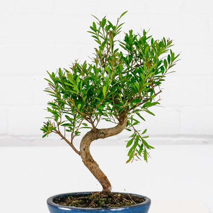 Cherry Brush Bonsai Tree Syzygium