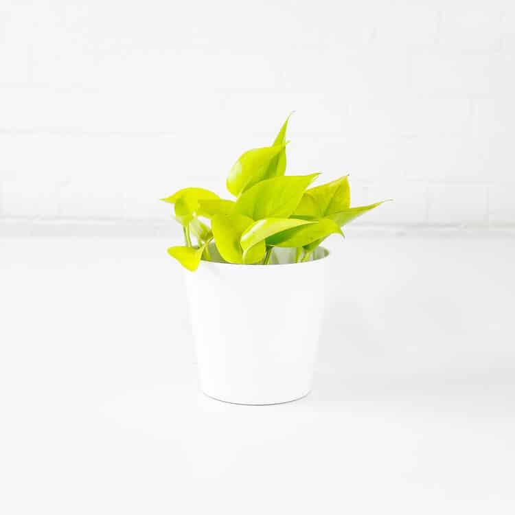 neon pothos epipremnum aureum climbing plant