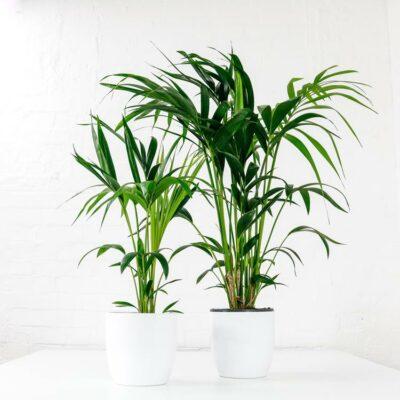 kentia palm howea forsteriana