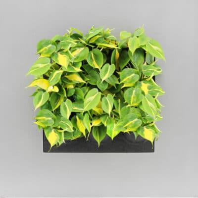 Heartleaf Philodendron Brasil