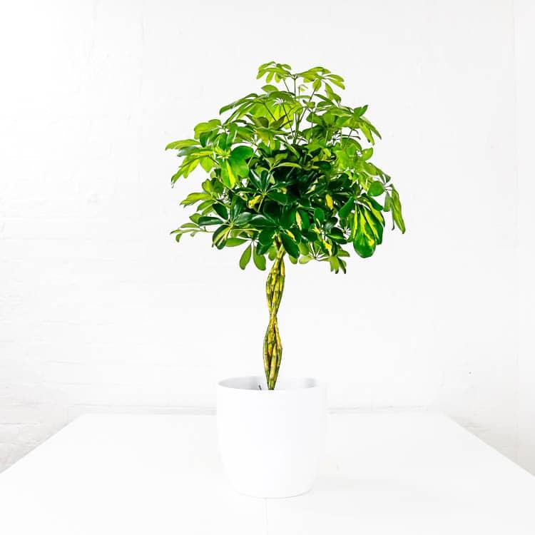 Umbrella Plant large schefflera aboricola