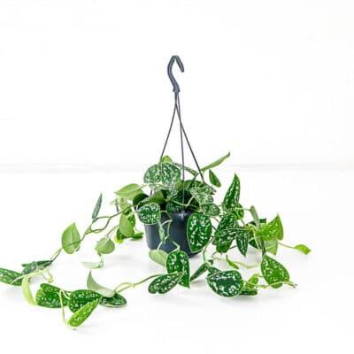 Satin Pothos Scindapsus pictus Hanging plant