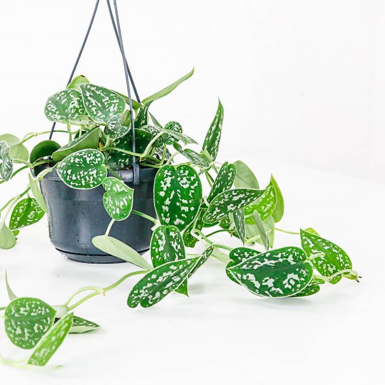 satin pothos Scindapsus pictus hanging basket