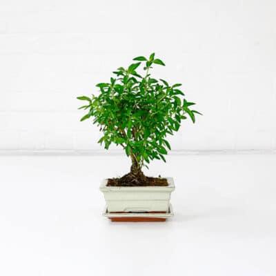 serissa snow rose bonsai tree